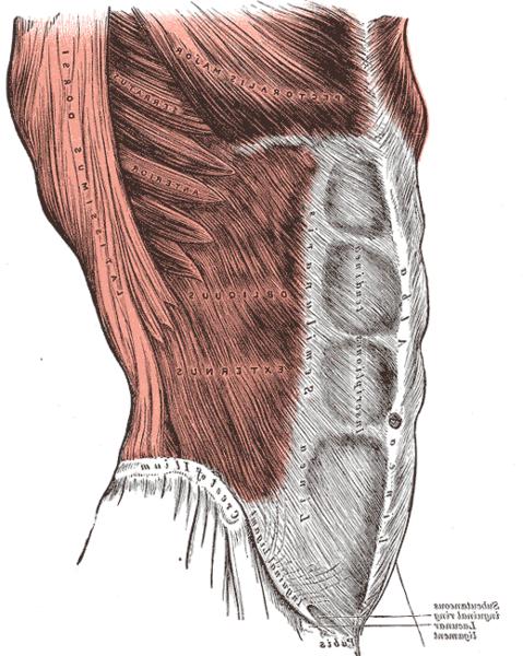 שרירי הבטן abdomin muscles